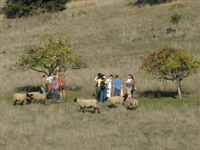 Tour group apple picking with the sheep